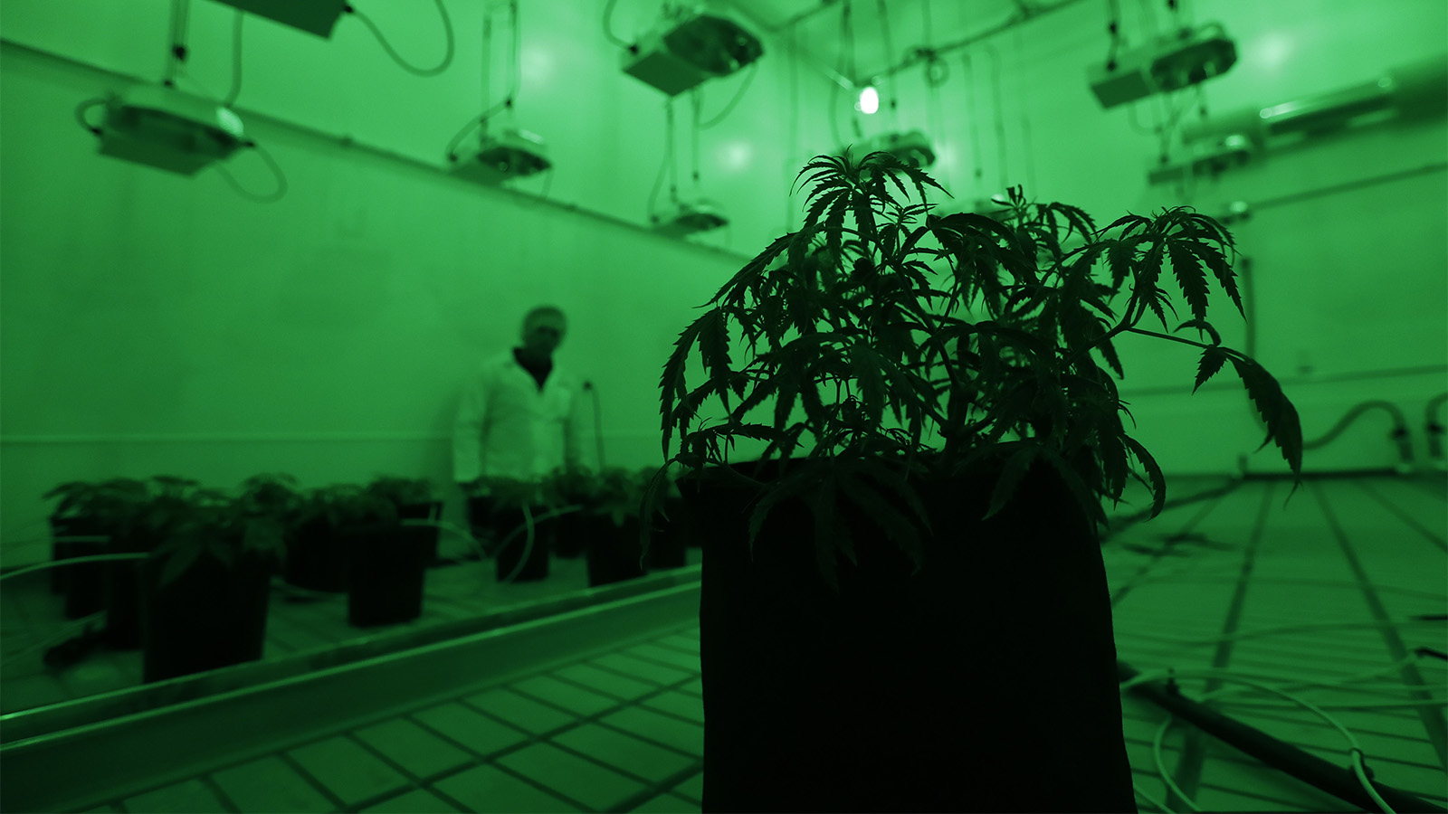 Marijuana plants grow under green lights to simulate night in a vegetation room at Compassionate Cultivation, a licensed medical cannabis cultivator and dispensary, on Dec. 14, 2017, in Manchaca, Texas. (AP Photo/Eric Gay)
