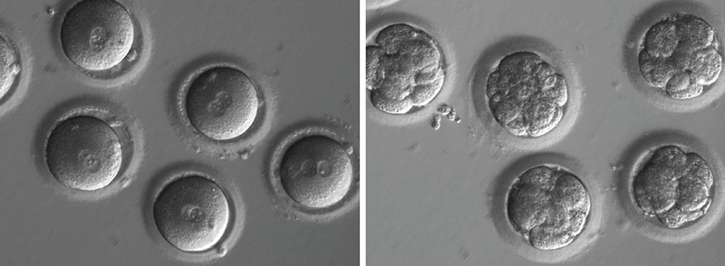 Newly fertilized eggs before gene editing, left, and embryos after gene editing and a few rounds of cell division. Image courtesy of Shoukhrat Mitalipov