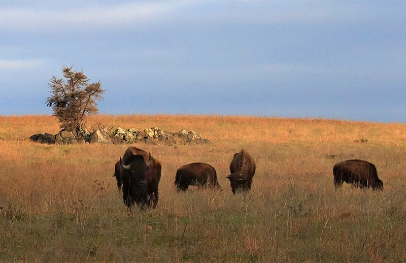 Buffalo at Wichita Mountains Wildlife Refuge in Oklahoma on March 25, 2017. Photo by Larry E. Smith/Creative Commons